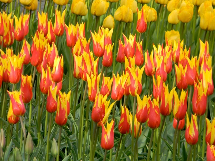 Tulips (image by Cornelius Heemskerk, consultant at TonsofTulips-Holland)