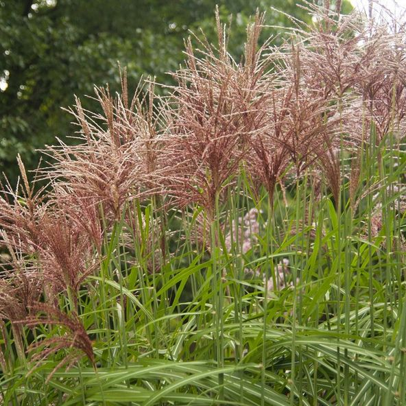 Miscanthus sinensis malepartus plants pinterest for Best tall grasses for privacy