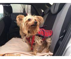 DADO  #Adopción #adopta #adoptanocompres #adoptar #LealesOrg  Contacto y info: Pulsar la foto o: https://leales.org/animales-en-adopcion/perros-en-adopcion/dado_i2790 ℹ  Fecha Nacimiento: 2009Tamaño: pequeñoSexo: MachoRaza: YorshireEstado: En acogida  Dado es un pequeño que hemos sacado de la perrera y se encuentra en una casa de acogida. Pesa poco mas de 3 kilos por lo que es ideal para cualquier tipo de vivienda. Pero es que ademas Dado es un perro 10no tiene problemas con nadie se lleva…