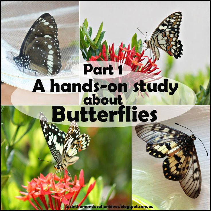 Suzie's Home Education Ideas: Part 1: A hands-on Study about Butterflies