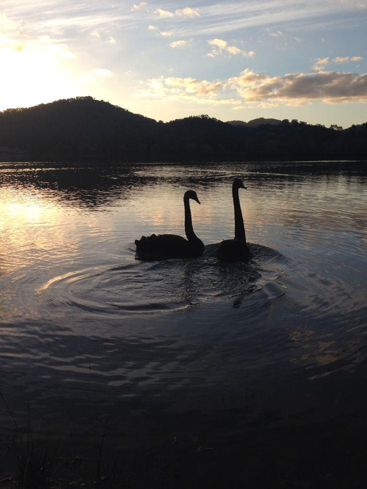 2 Black Swans swimming in the Eildon Pondage.