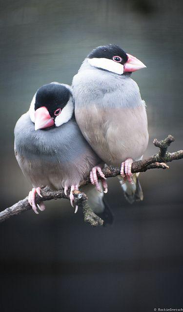 Java sparrows in love ......