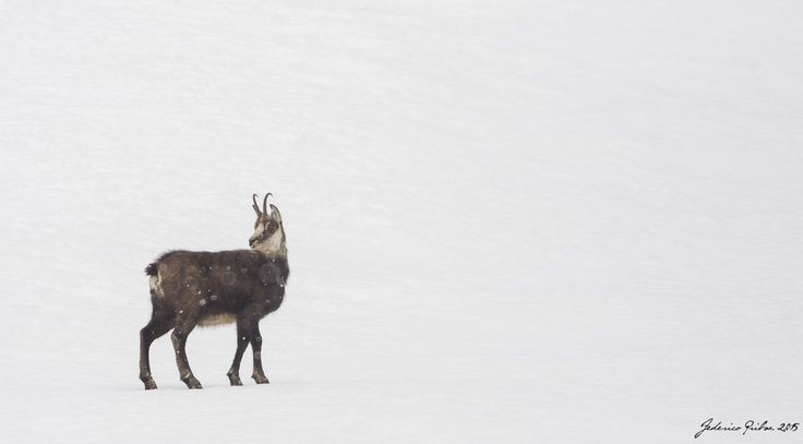 chamois in the snow by Federico Pribaz on 500px