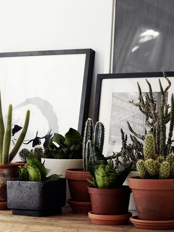Simple black gallery frames, stark white matting, black and white art, and cactus collection.