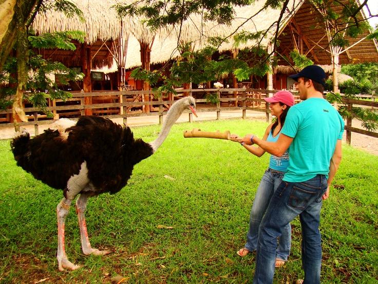 Estación de Avestruces de PANACA - Quimbaya.