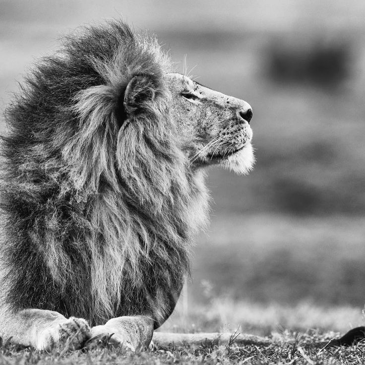 Best 25+ Lion africa ideas on Pinterest Lions in africa, Fierce - nolte küchen germersheim