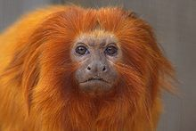 Golden lion tamarin - Wikipedia, the free encyclopedia
