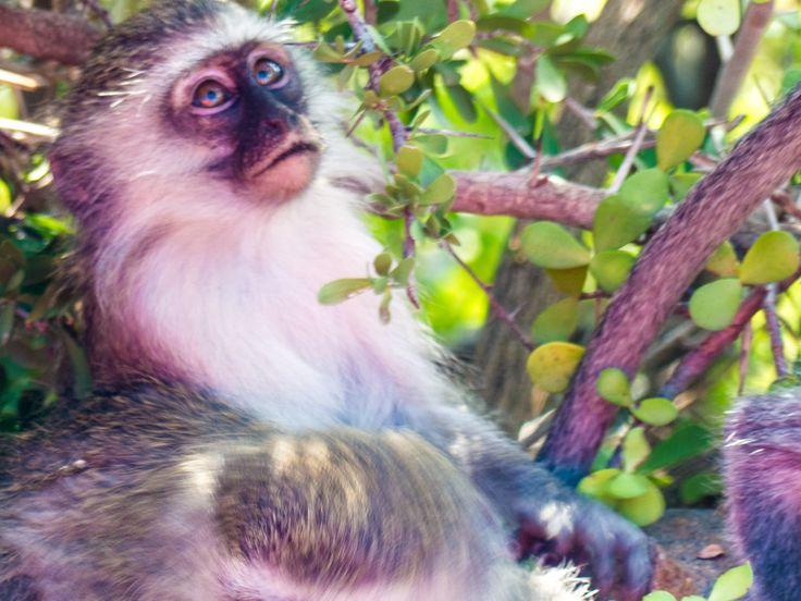Baby Vervet monkey, Graaff-Reinet