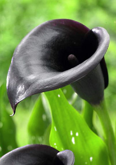 Calla Lily 'Night Cap' - an exotic variety, its glossy, almost black flowers look elegant with white or cream, sophisticated with blues and pinks ~ plant in spring | Longfield Gardens~~