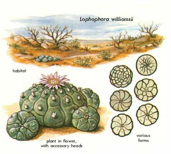 Peyote (Lophophora williamsii) - Hallucinogenic Plants A Golden-Guide 116a | Flickr - Photo Sharing!
