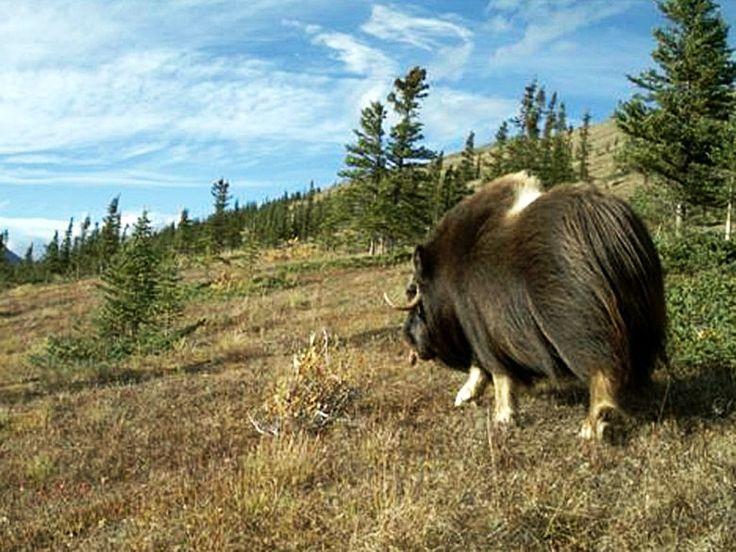 Musk ox: Musk Oxen, 36 Musk