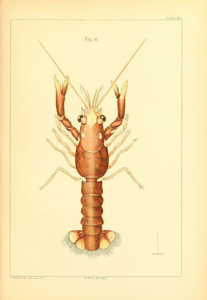 The American lobster Washington :Govt. Print. Off.,1895. biodiversitylibrary.org/page/37159880