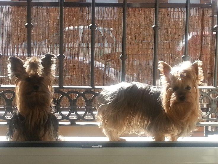 El Yorkshire Terrier (también llamado Yorkie) es una raza de pequeño tamaño que ha servido como inspiración y modelo de multitud de prendas de ropa canina y peinados de lo más variopintos.