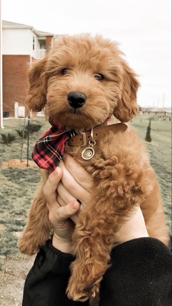 Maltipoo Maltipoo Welpen Goldendoodle Hundepflege