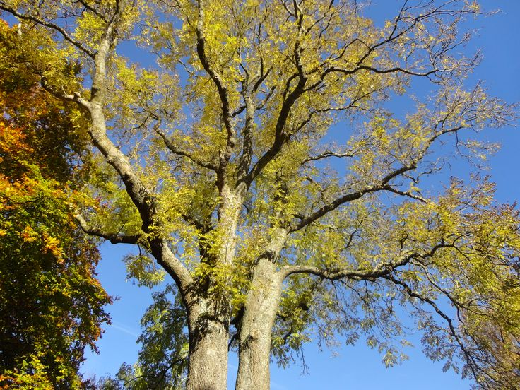 Ash  -  Fraxinus Excelsior in fall