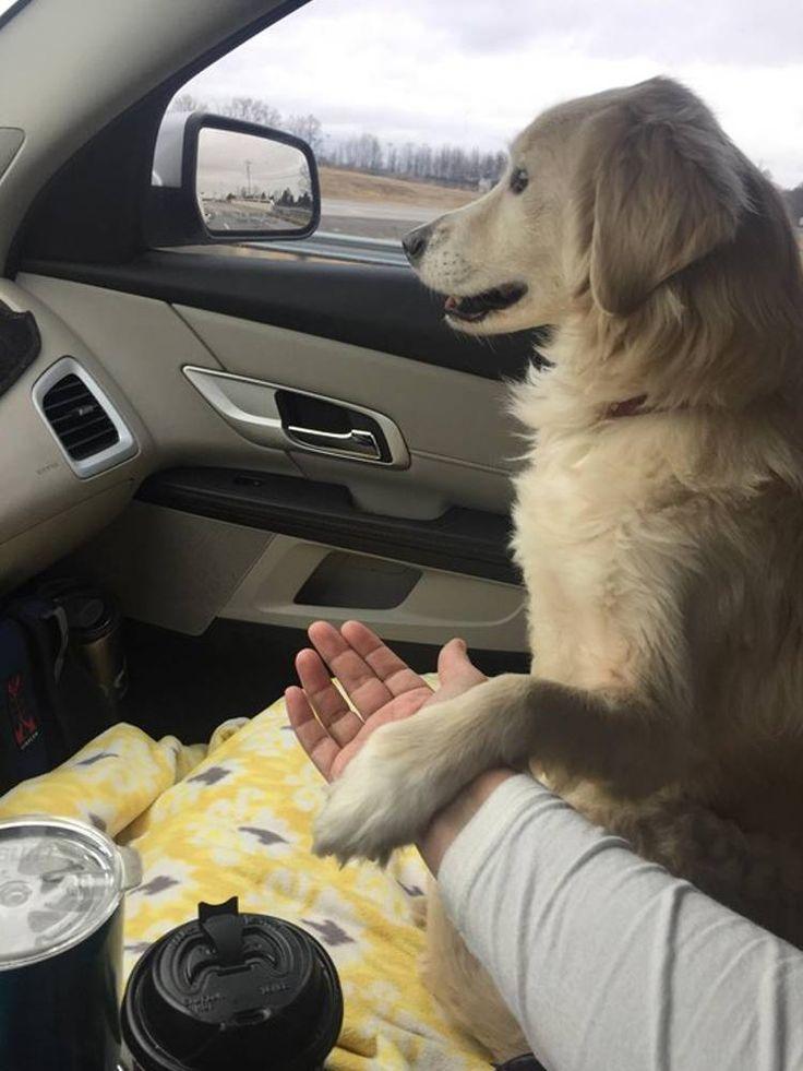 El tierno gesto de una perra agarrando la mano de su salvador en señal de agradecimiento tras quedar huérfana: #regan #goldenretriever #goldenretrievers #perro #perros #animales #animal #mascota #mascotas #noticia #noticias #video #videos #dog #dogs #pet #pets