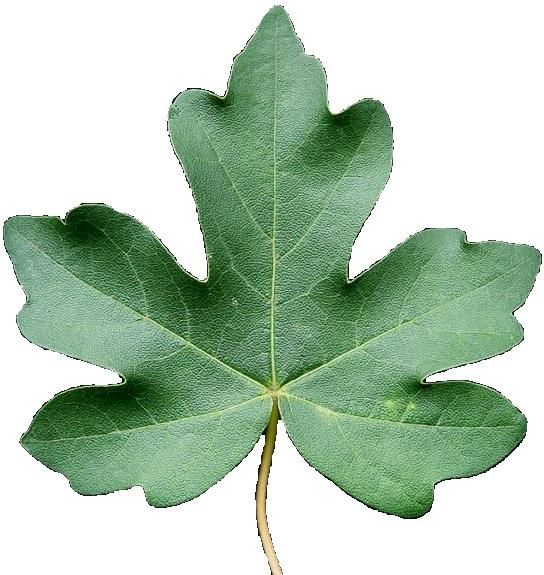 threats for acer Component of this study is to suggest legislative ways to reduce the threat of the  biological pollutant which is the invasive acer platanoides l (norway maple),.