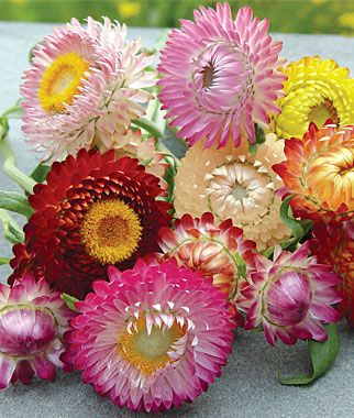 Paper daisies in pinks and reds. A very popular flower, due to variety of colour available, vase length, and ability to dry the flower after use.