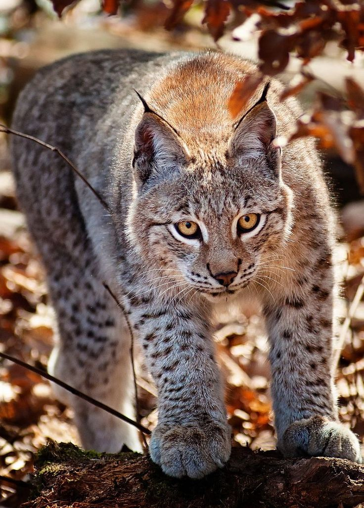 lynx forest jungle animal - photo #25