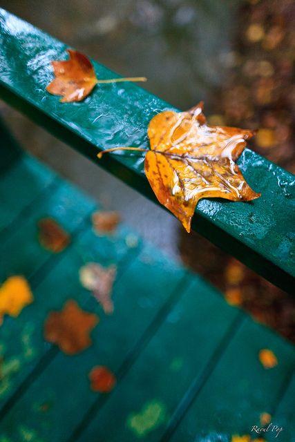 On the bridge.....    Fallen leaves rest on balustrade and bridge during rain, Grosvenor  Park