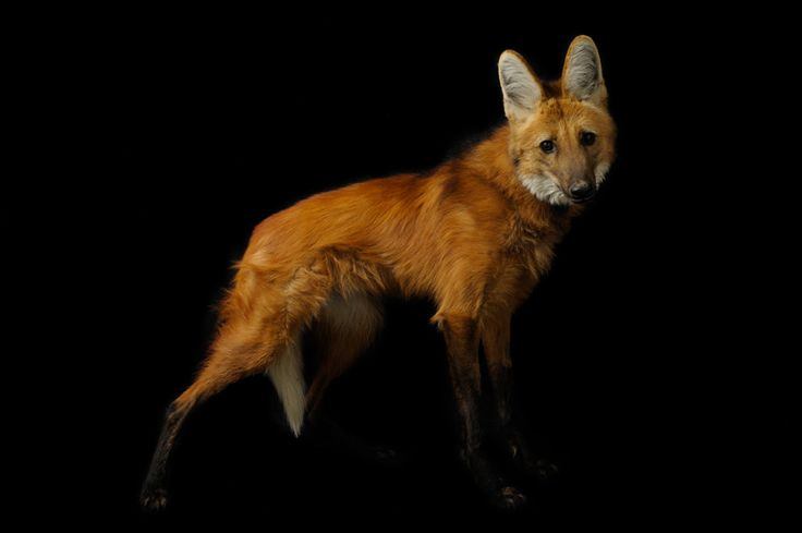 A maned wolf (Chrysocyon brachyurus) at the Sunset Zoo. With his mobile photo studio, Joel Sartore is on a mission to photograph endangered species before they disappear.