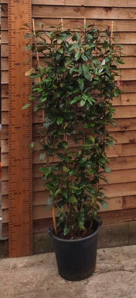 Photinia Red Robin on Frames for Screening. Instant Privacy