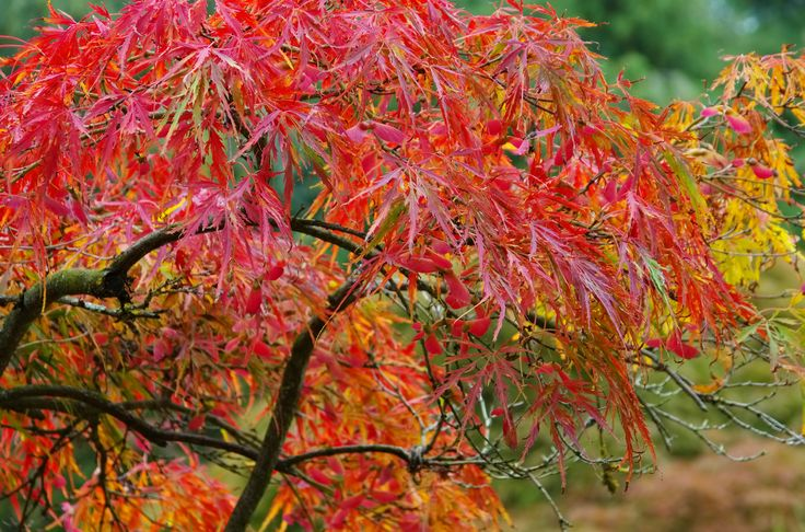 Japanese maple trees are fabulous additions to the landscape. With dazzling autumn foliage and attractive summer foliage to match, these trees are always worth having around. Click here to learn more about growing Japanese maples in zone 7 gardens.