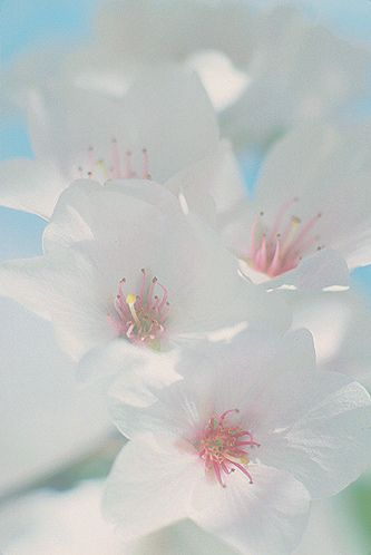White Blossoms: whitblsm-v1 - I know this is a photo but I'd love to frame  and hang near my desk. Beautiful.