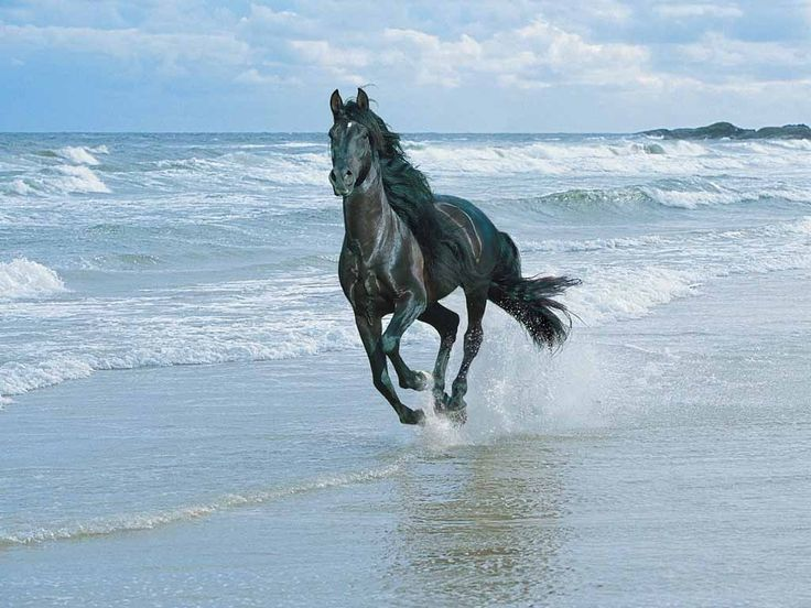 friesian in the water | running in water friesian horse