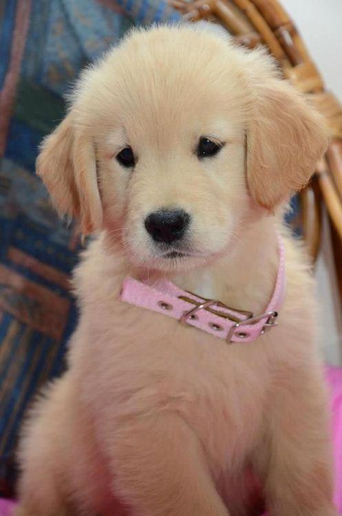 .....a golden retriever puppy.... look at that adorable little face!