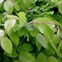 Carpinus betulus, Haagbeuk, Ideale boom om te leiden