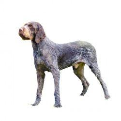 Il cane da ferma tedesco è un cane di costituzione potente, ma non pesante. Durante il movimento lento, il collo e la testa sono abbastanza eretti, la coda è spesso eretta verso l'alto mentre durante la cerca è più orizzontale. L'impressione generale è quella di un cane serio e ragionevole. L'occhio sembra minaccioso a causa delle sopracciglia ispide