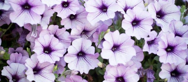 How To Keep Your Wave Petunias Blooming And Booming With Images