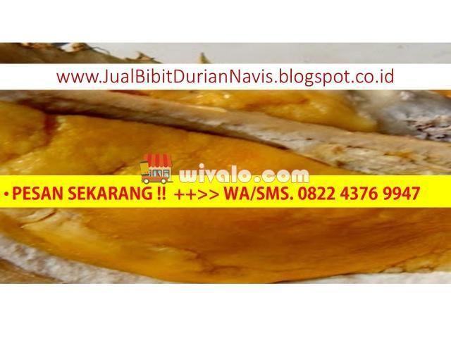 Jual Bibit Durian Montong Bawor, Musang King Trubus