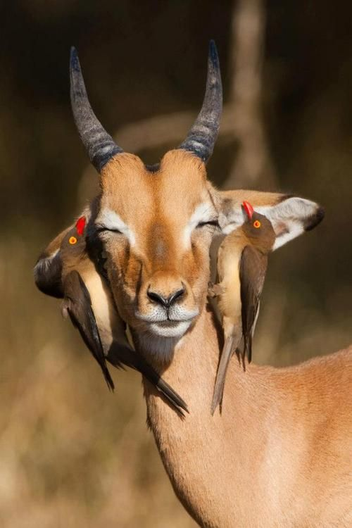 A young impala ram with his two red-billed oxpeckers friends.