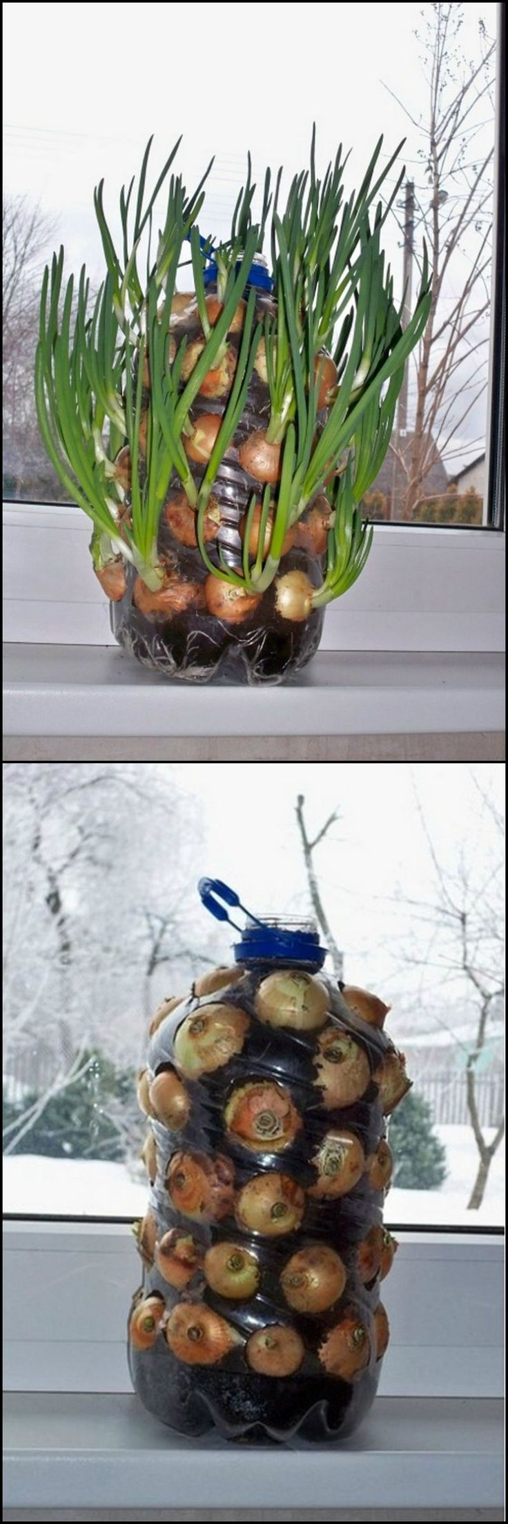 Interior designs medium size vertically growing onions growing onions - How To Make A Vertical Onion Planter From Repurposed Plastic Bottle Http Theownerbuildernetwork Co 1qr9 Onions Are A Super Food And Growing Them Can Be