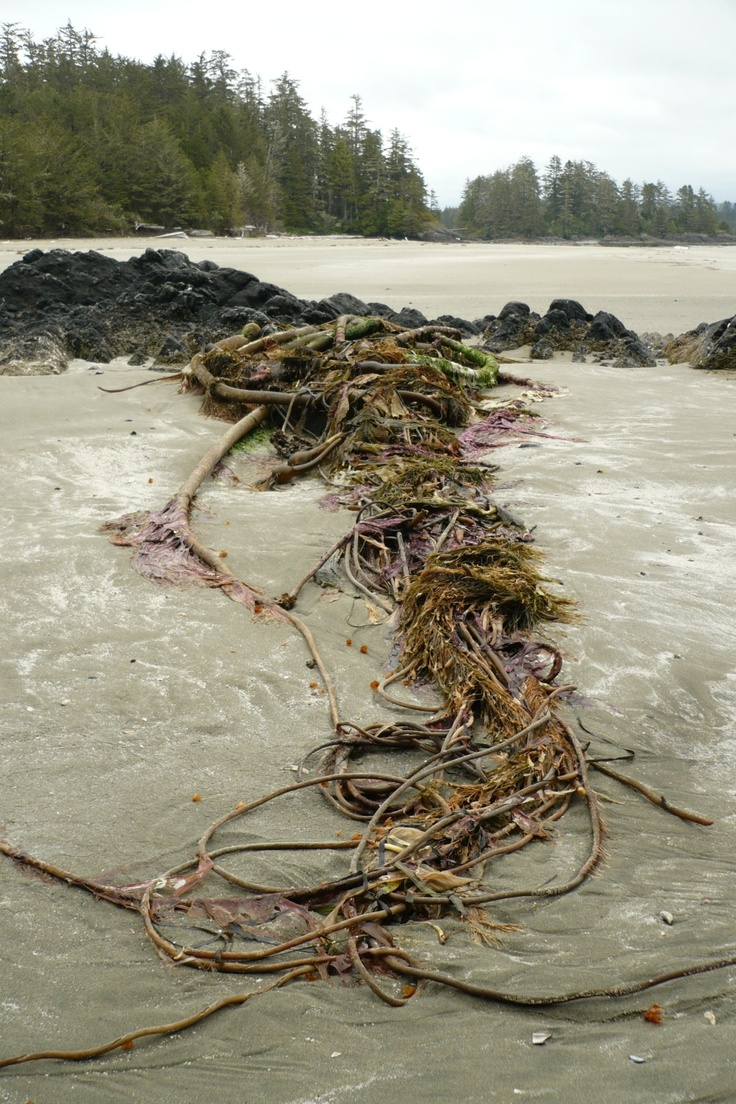 This entanglement of Bull-kelp and other seaweeds can be found after a good storm on Tofino's beaches. Bull-kelp is the fastest growing seaweed in the world - up to 7inch a day and to about 37ft in total length. Sea-otters use it to entangle their young into the top blades, so they don't drift away.