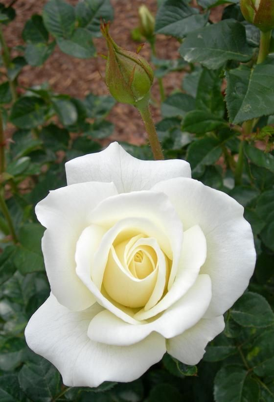 'Moondance'   FL rose. Introduced in United States by Jackson & Perkins Co. in 2007   © Carol Cloud Bailey