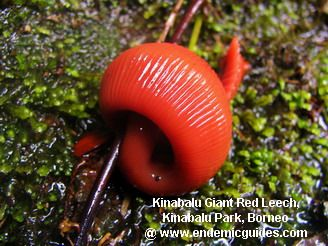 Kinabalu National Park Giant Red Leech and the Endemic Ecology