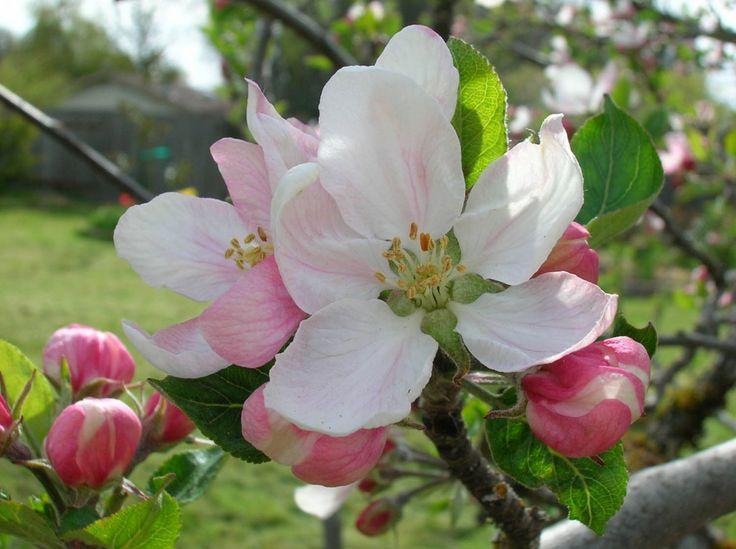 Melo da fiore in giardino: coltivazione biodinamica!  #Melo da #fiore, un buon modo per colorare il #giardino in #primavera