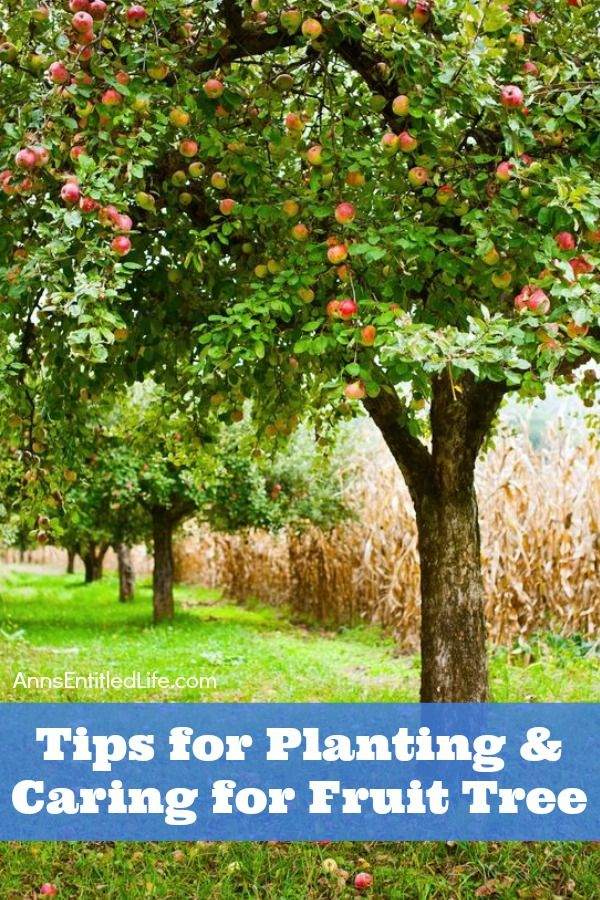 Tips For Planting and Caring for Fruit Trees. Everyone loves fresh fruit, especially if it is grown in your own backyard. But planting and caring for fruit trees requires some care; from planting to harvest. If your fruit trees are not cared for correctly then you risk the tree becoming diseased or not producing. Fortunately, a good planting foundation goes a long way toward a long, fruitful future harvest.