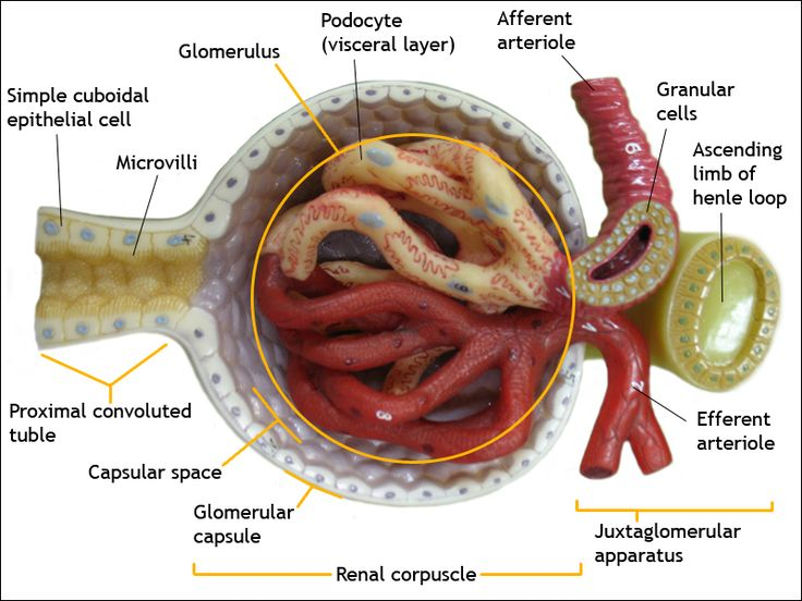 Kidneys: anatomy of a glomerulus -- From the afferent arteriole, blood flows into the glomerulus, which is a series of specialized capillary loops. It is through these capillaries that water & small particles are filtered from the blood to make urine. The remaining blood leaves the glomerulus through the efferent arteriole