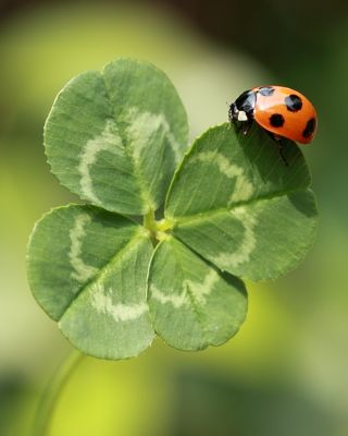 Clover (Trifolium repens) Lady Bug on a four leaf clover; how lucky can you get !!