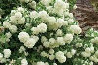 Arbres et arbustes - Viorne obier (Viburnum opulus)
