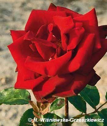 Róża wielkokwiatowa 'Schwarze Madonna' Rosa 'Schwarze Madonna'  Kwiaty są ciemnoczerwone, o czystej, bardzo ciemnej, prawie czarnej barwi...
