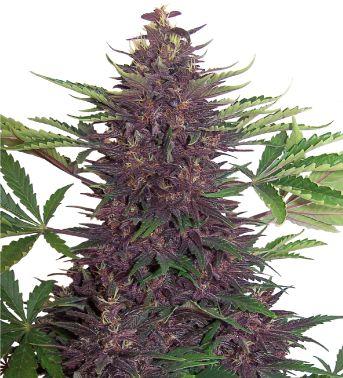 Purple Kush Auto Feminised Cannabis Seeds