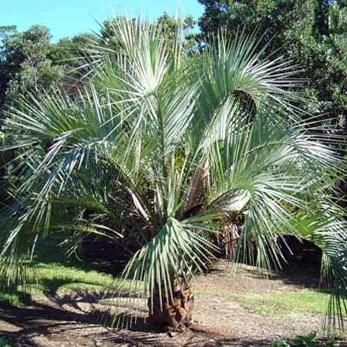 Les 13 meilleures images du tableau palmiers sur pinterest fleurs jardinage et palmiers - Massif avec palmier ...