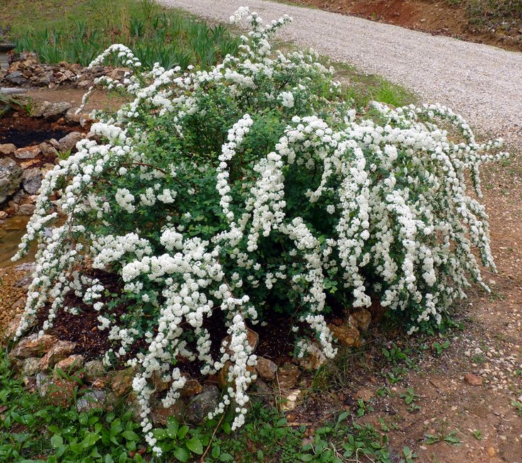 bridal wreath spirea bush grows up to 6 ft tall doesnt