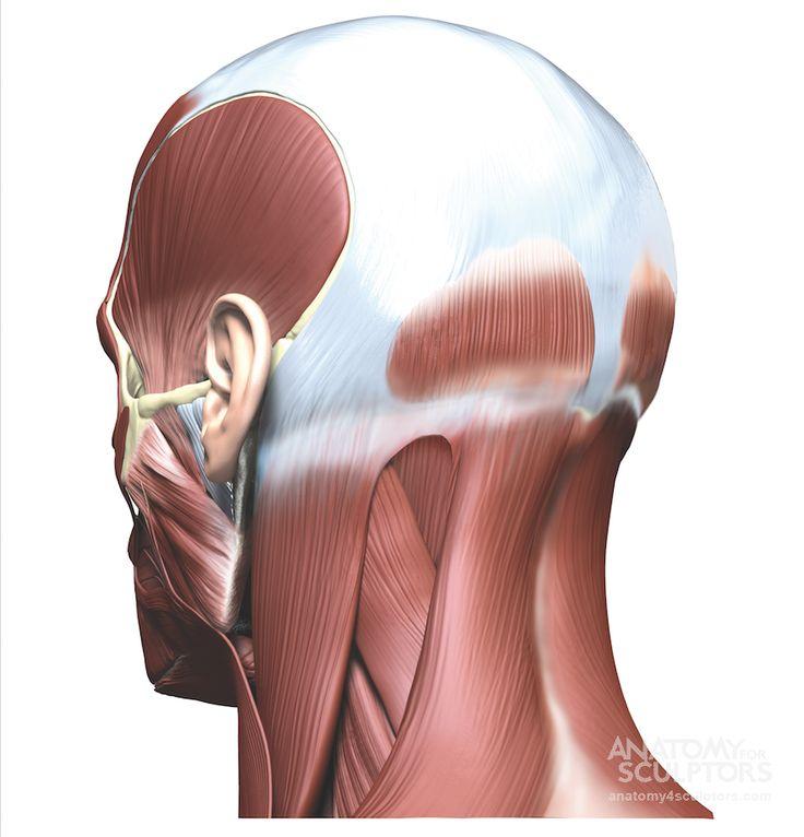 253 best HEAD-ANATOMY images on Pinterest | Head anatomy, Anatomy ...
