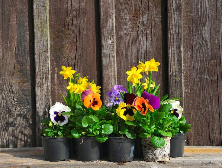 苗や種を買うときに、「宿根草」「多年草」「一年草」と書かれた札を目にします。それぞれの性質をしっておくと、ガーデニングにいかして思い通りの庭を作ることができますよ。今回は、宿根草とはどんな性質なのか、多年草との違い、ガーデニングに人気の種類についてご紹介します。 宿根草とは? 宿根草とは、毎年花を咲かせる草花